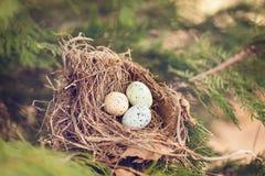 Vogeleier in einem Nest Stockbilder