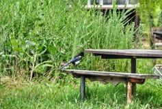 Vogelekster royalty-vrije stock afbeeldingen
