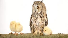 Vogeleule mit neugeborenen Hühnern stock video