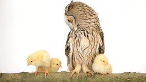 Vogeleule mit neugeborenen Hühnern stock video footage