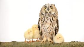 Vogeleule mit neugeborenen Hühnern stock footage