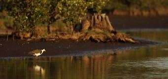 Vogelfischen im seichten Wasser stock video