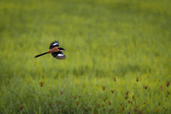 Vogelfliegen Lizenzfreie Stockfotos