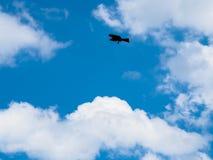 Vogelfliegen des gelb-braunen Adlers im blauen Himmel mit weißer Wolke und det Lizenzfreies Stockbild
