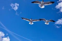 Vogelfliegen mit 3 Seemöwen im Himmel Stockfotografie