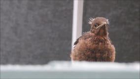 Vogelflugstunden des Babyamselgewordenen vogels stock video footage