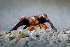 Vogelfressverhalten im felsigen Berg Jäger mit Fang Steinadler im grauen Steinlebensraum Fox-Karkasse Steinadler, Aquila Lizenzfreie Stockfotos