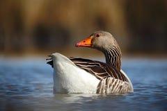 Vogelgreylag Gans, Anser die anser, op de waterspiegel drijven Royalty-vrije Stock Afbeeldingen