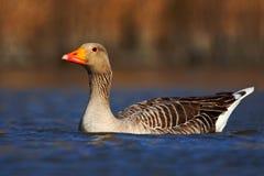 Vogelgreylag Gans, Anser die anser, op de waterspiegel drijven Royalty-vrije Stock Foto's