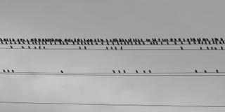 Vogelgruppe auf Stromleitungen Stockfoto