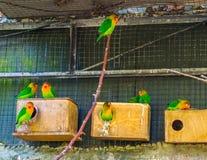 Vogelhuishoogtepunt met de dwergpapegaaien van fischer, kleurrijke tropische vogels van Afrika, populaire huisdieren in avicultur stock afbeeldingen