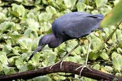 Vogeljagd für Fische Lizenzfreies Stockbild