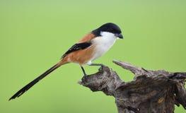 Vogelklauwier Met lange staart, Thailand Stock Fotografie