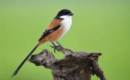 Vogelklauwier Met lange staart, Thailand Royalty-vrije Stock Fotografie