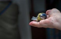 Vogelklingeln Lizenzfreie Stockfotografie