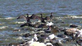 Vogelkormorane und -seemöwen auf Seeküste stock video