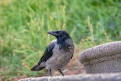 Vogelkraai in stedelijke milieu's met een vage rug als achtergrond royalty-vrije stock afbeeldingen