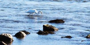 Vogelkran, der einen Fisch fängt lizenzfreies stockfoto