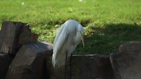 Vogelkratzer sein linker Flügel stock footage
