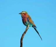 Vogelleben Afrika: Lilacbreasted Rolle stockbild