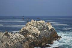 Vogelleben auf der Pazifikküste von Chile Stockfotografie