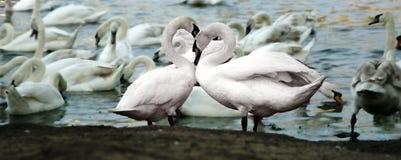 Vogelliefde Royalty-vrije Stock Afbeelding