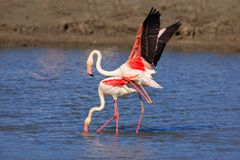 Vogelliefde in water Paar flamingo's Het dierlijke koppelen twee die, in meer lopen Roze grote vogel Grotere Flamingo, Phoenicopt stock foto