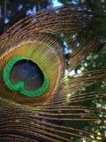 Vogelmakronahaufnahme der Pfaufeder schillernde Stockfotografie