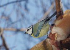 Vogelmeise auf Niederlassung Stockfotografie