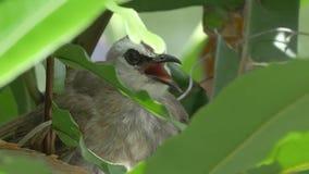 Vogelmoeder het Hijgen stock footage