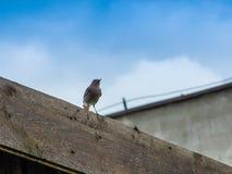 Vogelnachtigall Stockbilder