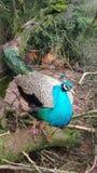 Vogelnatur der Pfauwild lebenden tiere Lizenzfreies Stockbild