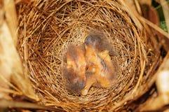 Vogelnest mit dem Schlafen mit zwei Küken Stockfotografie