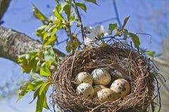 Vogelnest mit Eiern Stock Foto