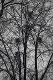 Vogelnesten in bomen in het bos Onheilspellende donkere bos Stock Afbeeldingen