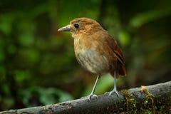 Vogelobservatie in Colombia, Zuid-Amerika Rufous Antpitta, Grallaria-rufulasaltuensis, vogel van Colombia Zeldzame vogel in de aa Royalty-vrije Stock Fotografie