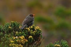 Vogelobservatie in Colombia, Zuid-Amerika Vogel van Colombia Zeldzame vogel in de aardhabitat Zwarte vogel met rode rekening, Los Stock Afbeelding