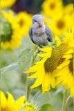Vogelpapageienblau Lizenzfreie Stockfotos