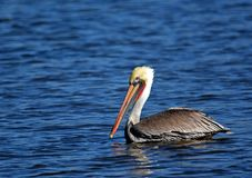 Vogelpelikan im Fluss San Juan Stockbild