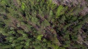 Vogelperspectief van spar bos Noordelijke taiga in de zomer in zonnig weer stock video