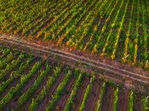 Vogelperspektive über Weinberg in Europa bei Sonnenuntergang lizenzfreie stockfotografie