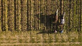 Vogelperspektive, Arbeitsweinberg mit einem Entwurfspferd, Heilig-Emilion-Frankreich lizenzfreie stockfotos