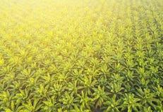 Vogelperspektive auf Plantage von Palmen Hintergrund, Draufsicht aer Lizenzfreie Stockbilder