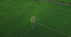 Vogelperspektive-Brummen fliegen um Arengapalmebäume und entlang Fußweg neben zwei Reisfeldern stock footage