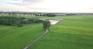 Vogelperspektive-Brummen fliegen um die Bäume und entlang Fußweg neben zwei Reisfeldern stock footage
