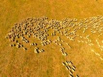 Vogelperspektive der großen Schaf-Herde Lizenzfreie Stockfotos
