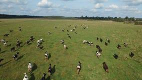 Vogelperspektive der Herde der Kühe am Sommergrünfeld stock footage