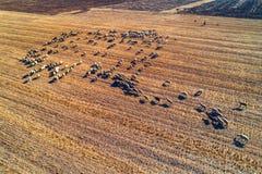 Vogelperspektive der Herde der inländischen Schafe an landwirtschaftlicher FI des Herbstes Lizenzfreies Stockfoto