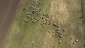 Vogelperspektive der Herde der Schafe, die im Frühjahr in einer Wiese weiden lassen stock video footage