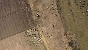 Vogelperspektive der Herde der Schafe, die im Frühjahr in einer Wiese weiden lassen stock video